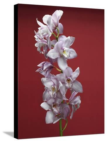 Cattleya orchid--Stretched Canvas Print