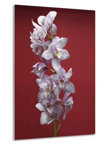 Cattleya orchid--Metal Print
