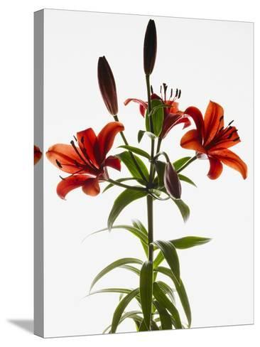 Asiatic lily--Stretched Canvas Print