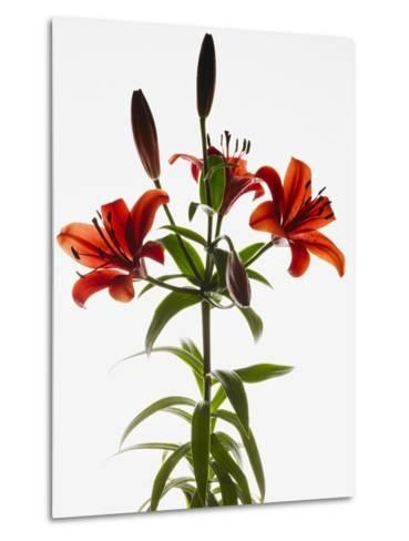 Asiatic lily--Metal Print