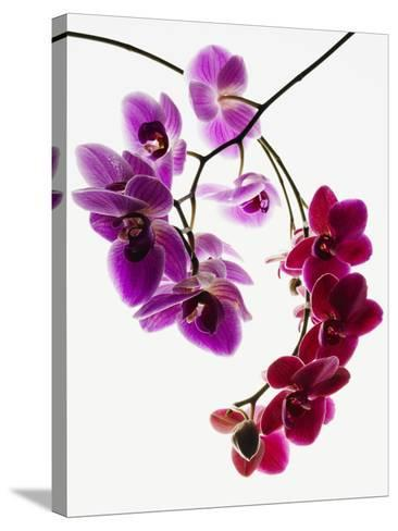 Phalaenopsis orchids--Stretched Canvas Print