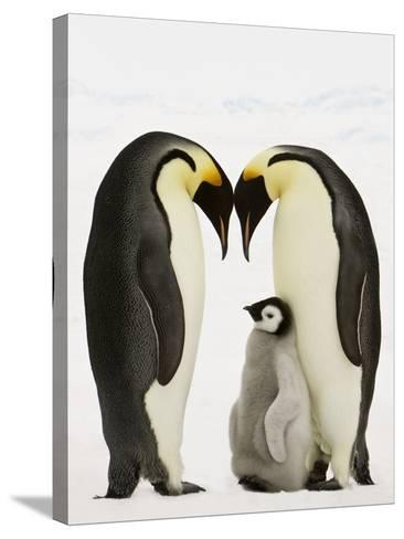 Emperor Penguins Protecting Chick-John Conrad-Stretched Canvas Print