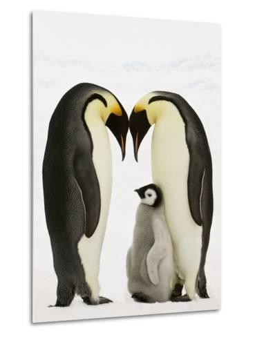 Emperor Penguins Protecting Chick-John Conrad-Metal Print