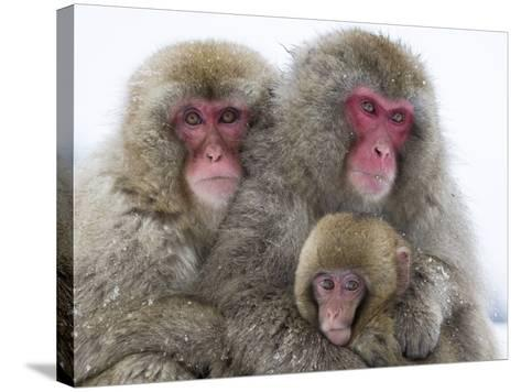 Japanese Macaque Family-Frank Lukasseck-Stretched Canvas Print
