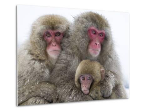 Japanese Macaque Family-Frank Lukasseck-Metal Print