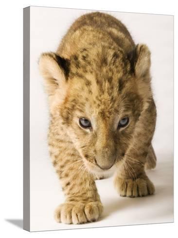 Lion Cub-Martin Harvey-Stretched Canvas Print