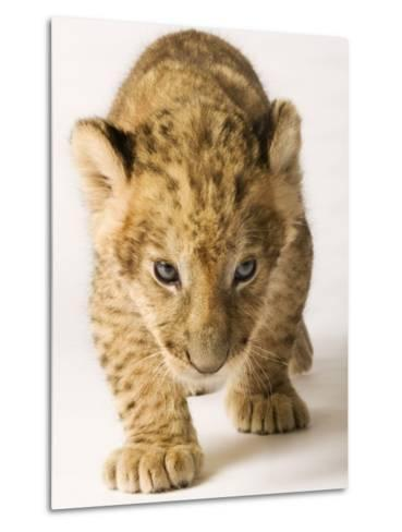Lion Cub-Martin Harvey-Metal Print