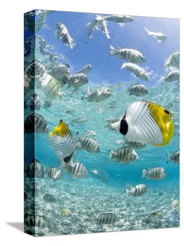 Tropical Fish in Bora-Bora Lagoon-Michele Westmorland-Stretched Canvas Print