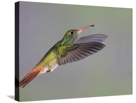 Rufous-tailed Hummingbird-Arthur Morris-Stretched Canvas Print