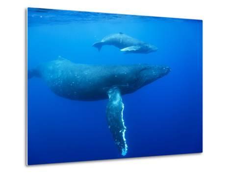 Humpback Whale Cow and Calf Underwater-Paul Souders-Metal Print