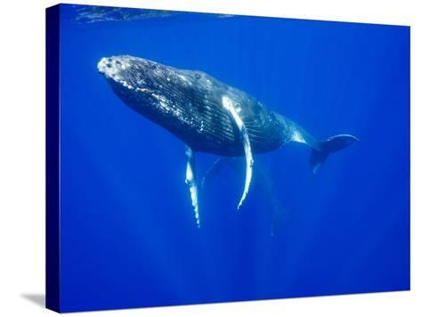 Humpback Whales Underwater-Paul Souders-Stretched Canvas Print