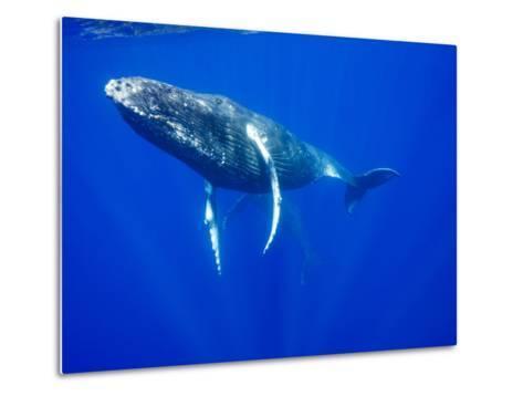 Humpback Whales Underwater-Paul Souders-Metal Print