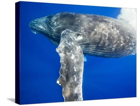 Humpback Whale Diving Near Surface-Paul Souders-Stretched Canvas Print