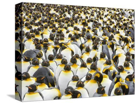 Adult King Penguins on South Georgia Island-John Eastcott & Yva Momatiuk-Stretched Canvas Print