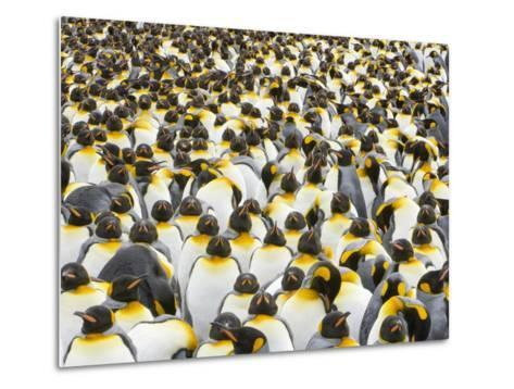 Adult King Penguins on South Georgia Island-John Eastcott & Yva Momatiuk-Metal Print