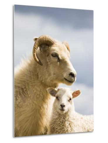 Adult Icelandic Sheep with Lamb-Frank Lukasseck-Metal Print