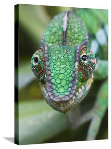 Panther Chameleon-Keren Su-Stretched Canvas Print