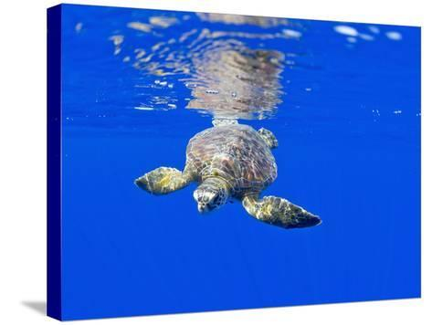 Underwater View of Green Sea Turtle-Paul Souders-Stretched Canvas Print