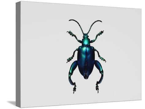 Frog-Legged Leaf Beetles--Stretched Canvas Print