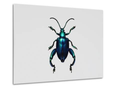 Frog-Legged Leaf Beetles--Metal Print