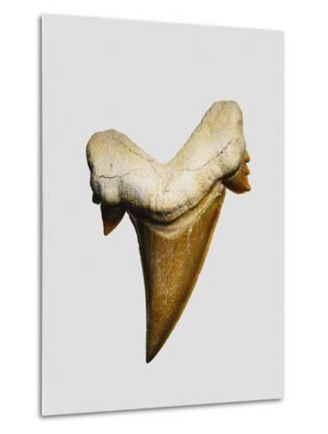 Fossil mackerel shark tooth--Metal Print