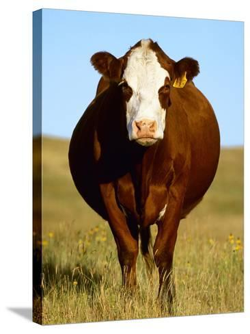 Crossbred Cow in Summer Pasture-Sam Wirzba-Stretched Canvas Print