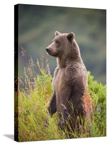 Brown Bear Standing Upright in Tall Grass at Kinak Bay-Paul Souders-Stretched Canvas Print