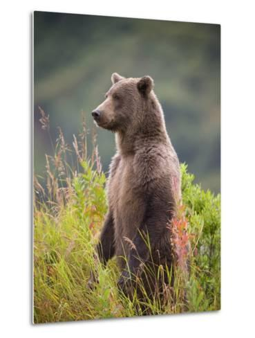 Brown Bear Standing Upright in Tall Grass at Kinak Bay-Paul Souders-Metal Print