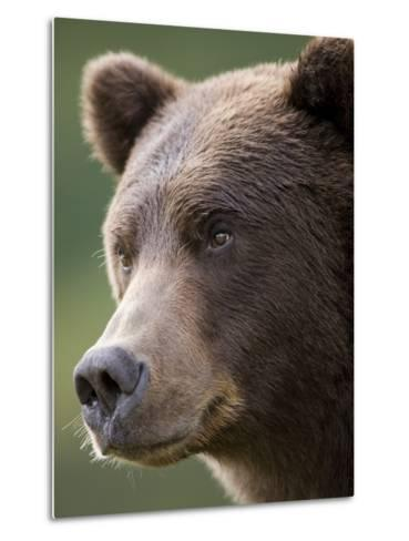 Brown Bear at Kinak Bay in Katmai National Park-Paul Souders-Metal Print