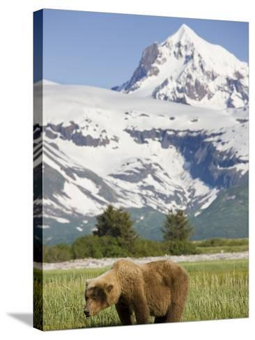 Grizzly Bear Eating Sedge Grass in Meadow at Hallo Bay-Paul Souders-Stretched Canvas Print