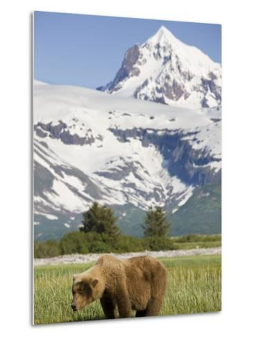 Grizzly Bear Eating Sedge Grass in Meadow at Hallo Bay-Paul Souders-Metal Print