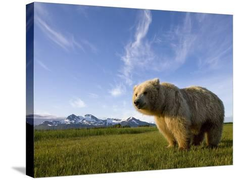 Grizzly Bear in Meadow at Hallo Bay in Katmai National Park-Paul Souders-Stretched Canvas Print