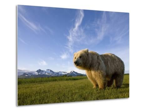 Grizzly Bear in Meadow at Hallo Bay in Katmai National Park-Paul Souders-Metal Print