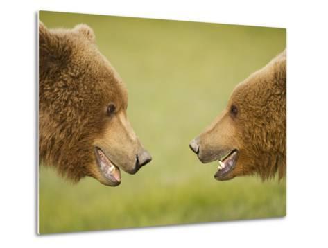 Brown Bears Facing Off at Hallo Bay-Paul Souders-Metal Print