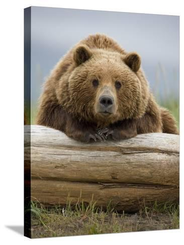 Grizzly Bear Leaning on Log at Hallo Bay-Paul Souders-Stretched Canvas Print