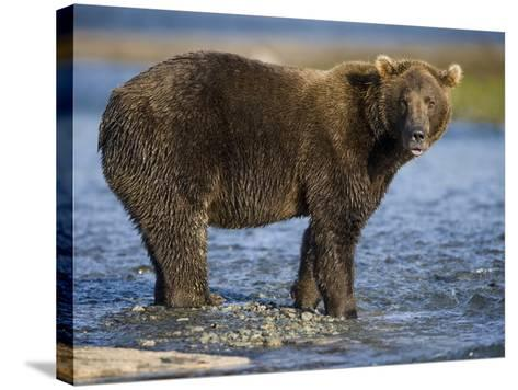 Brown Bear in Stream at Kukak Bay in Katmai National Park-Paul Souders-Stretched Canvas Print