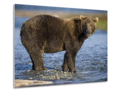 Brown Bear in Stream at Kukak Bay in Katmai National Park-Paul Souders-Metal Print