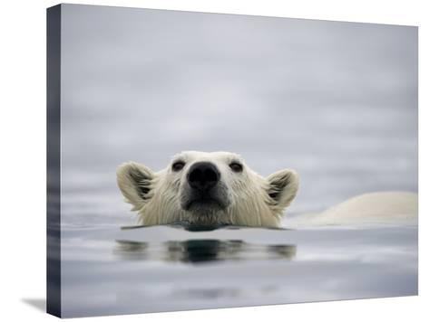 Swimming Polar Bear at Half Moon Island in Svalbard-Paul Souders-Stretched Canvas Print