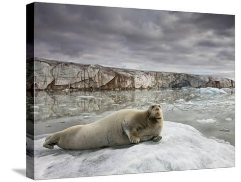 Bearded Seal on Iceberg in the Svalbard Islands-Paul Souders-Stretched Canvas Print