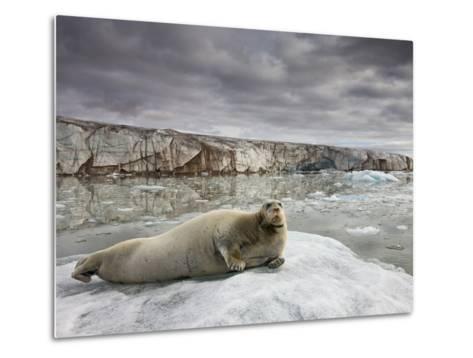Bearded Seal on Iceberg in the Svalbard Islands-Paul Souders-Metal Print