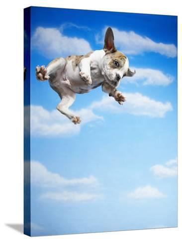 Flying Bulldog Puppy-Lew Robertson-Stretched Canvas Print