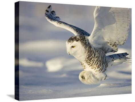 Snowy Owl in Flight Hunting-Theo Allofs-Stretched Canvas Print