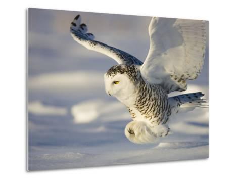 Snowy Owl in Flight Hunting-Theo Allofs-Metal Print