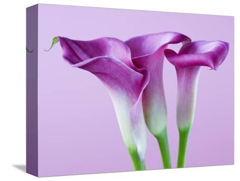 Purple Calla Lilies-Clive Nichols-Stretched Canvas Print