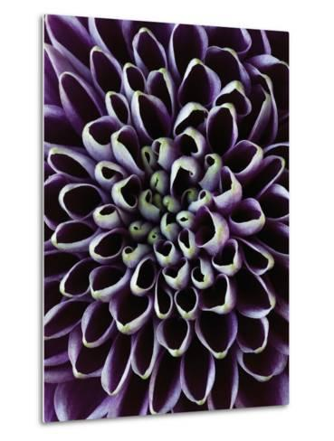Close-up of Chrysanthemum Flower-Clive Nichols-Metal Print