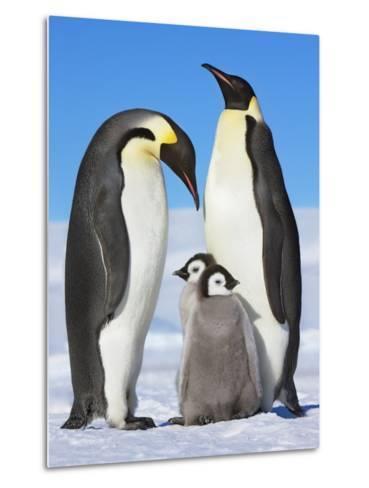 Emperor penguins with chicks-Frank Krahmer-Metal Print
