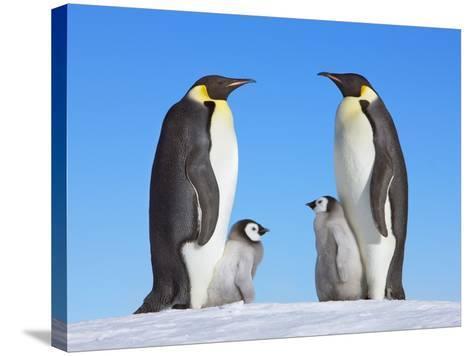 Emperor Penguins with Chicks-Frank Krahmer-Stretched Canvas Print