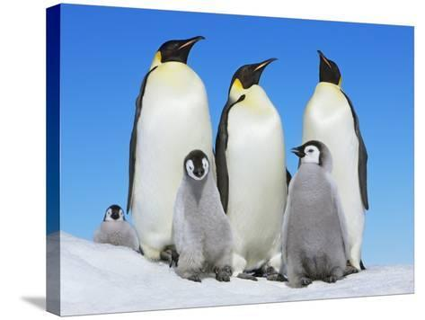 Emperor penguin with group with chicks-Frank Krahmer-Stretched Canvas Print