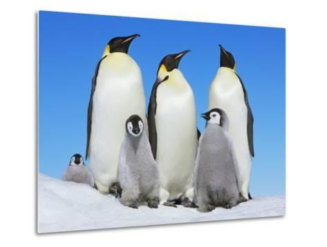 Emperor penguin with group with chicks-Frank Krahmer-Metal Print