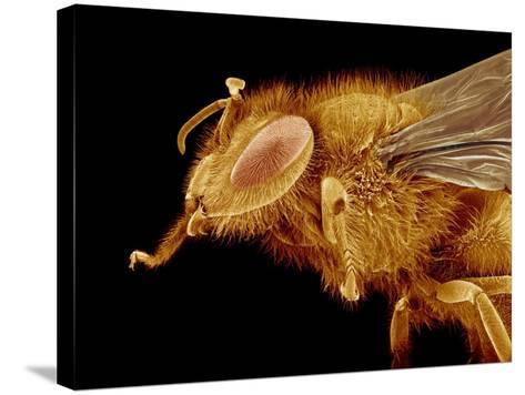 Head of a Honeybee-Micro Discovery-Stretched Canvas Print